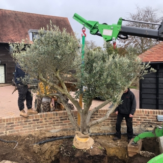 How to plant a root ball tree using a hooka mini tracked crawler crane to lift the tree instead of a spider crane or mini crane